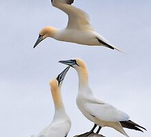 Gannet Ballet by Andrew Jones