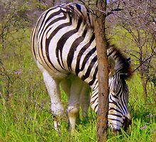Zebra - Khama Rhino Sanctuary, Serowe, Botswana, Africa by Irene  van Vuuren