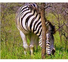 Zebra - Khama Rhino Sanctuary, Serowe, Botswana, Africa Photographic Print