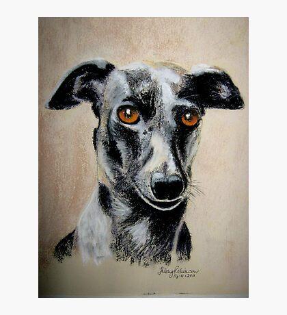 Italian Greyhound Photographic Print