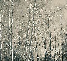 Birch in Afternoon - Lou Campbell State Nature Preserve by Mitch Labuda