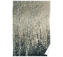 Birch in Afternoon - Lou Campbell State Nature Preserve Poster