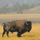 Buffalo in Yellowstone by RedOwlPhoto