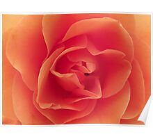 Rose - close crop Poster