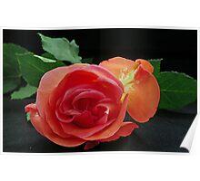 Rose Resting Poster