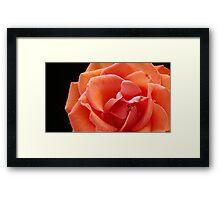 Single Rose - close crop Framed Print