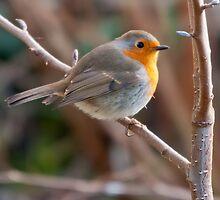 European Robin (Erithacus rubecula) by Steve  Liptrot