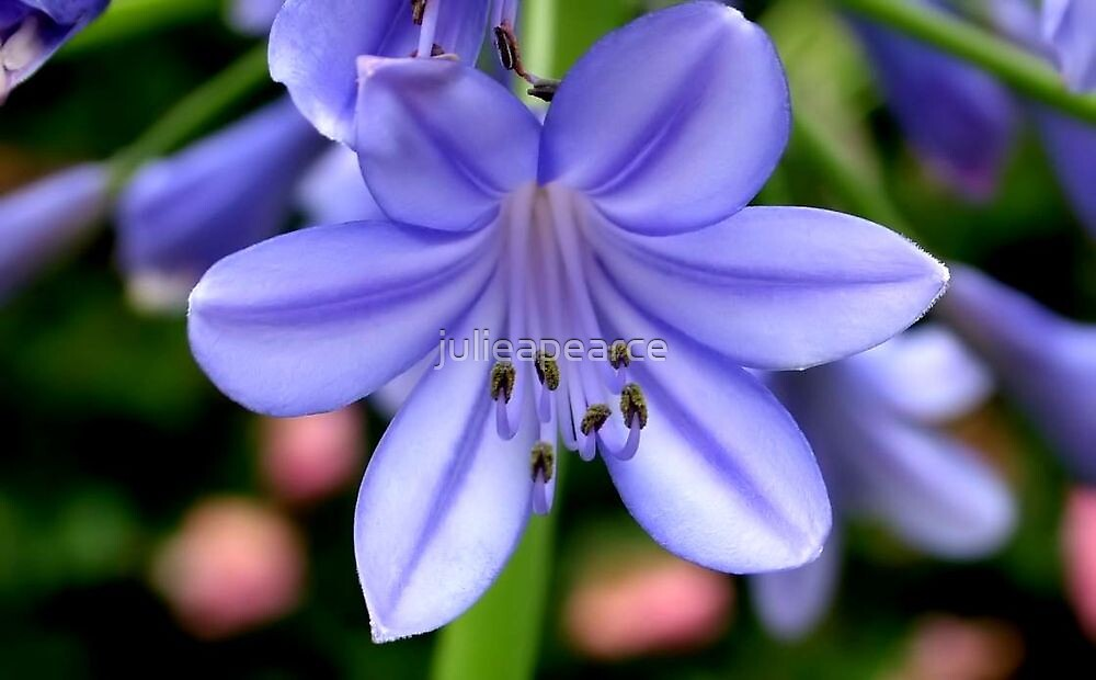 purple flower by julieapearce