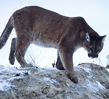 Random Mountain Lion