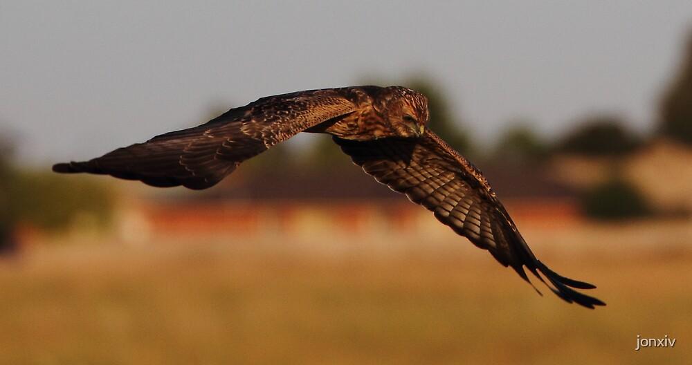"""""""Bird of Prey in Suburbia"""" by jonxiv"""
