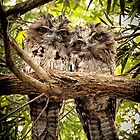 Frogmouth Twins by Marian Moore