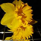 Daffodil Images by WildestArt