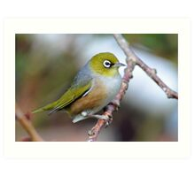 Silvereye. Gore, South Island, New Zealand Art Print