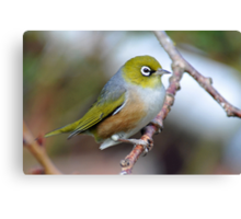 Silvereye. Gore, South Island, New Zealand Canvas Print