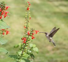 Hummingbird at flower. by Diana Landry