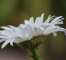 Daisy by Diana Landry