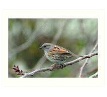 Dunnock Hedge Sparrow in Gore. South Island, New Zealand. Art Print