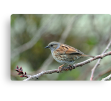 Dunnock Hedge Sparrow in Gore. South Island, New Zealand. Canvas Print