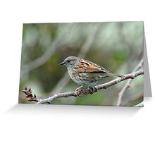 Dunnock Hedge Sparrow in Gore. South Island, New Zealand. Greeting Card