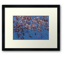 Pretty in Pink - a Flowering Cherry Tree and Blue Spring Sky Framed Print