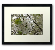 Springtime Dreams - Masses of White Blossoms Framed Print