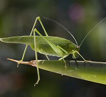 Tettigonia viridissima by Glynn May