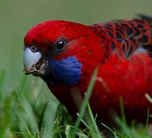 Crimson Rosella by Nolan White