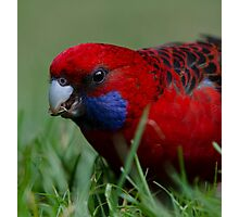 Crimson Rosella Photographic Print