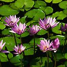 water lillies by tinathorn