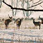 RED DEER IN THE SNOW (At nature reserve the Oostvaarders plassen) by Johan  Nijenhuis
