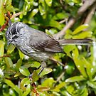 Tufted Tit Tyrant by Dennis Cheeseman