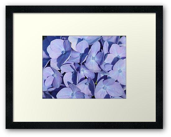 Hydrangeas by Thomas Murphy