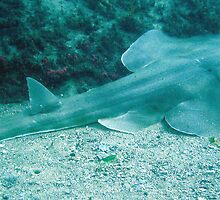 SHOVEL NOSE SHARK by springs