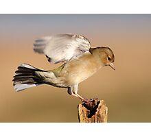 Chaffinch landing Photographic Print