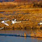 Tundra Swan Ballet by DawsonImages
