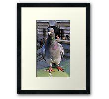 Feral Pigeon Framed Print