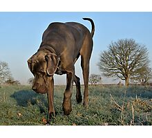 Wrinkly face Great Dane Photographic Print