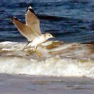 Seagull in Flight by Robin Black