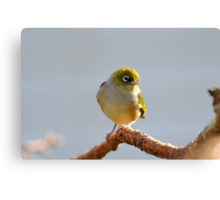 Silvereye. Gore, South Island, New Zealand. (2) Canvas Print