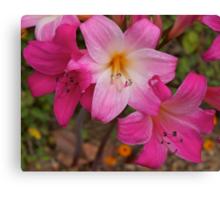 Belladonna#2 (beautiful lady) flowering. Canvas Print