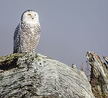Snowy Owl Sentinel by Jim Stiles