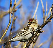 Common Redpoll Female by Alyce Taylor