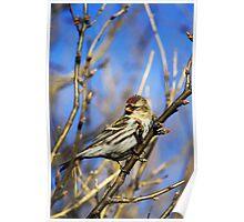 Common Redpoll Female Poster