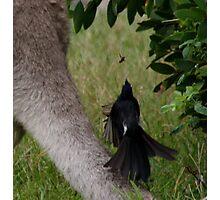 Peewee on a Kangaroo's tail Photographic Print