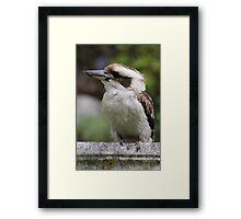 Kookaburra Sitting Framed Print