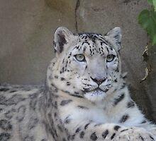 Snow Leopard by Sally Haldane