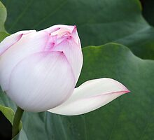 Lotus Flower by Ross Campbell