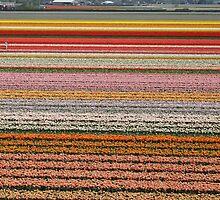 Tulip farm by Henk van Kampen