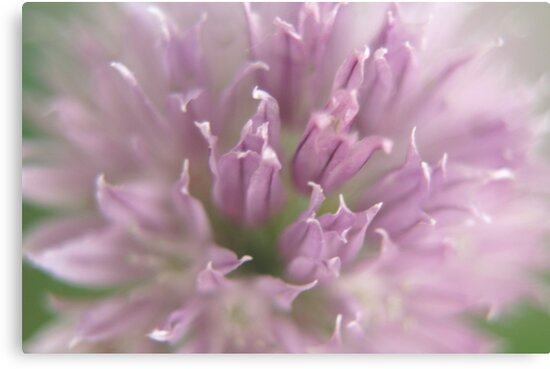 Purple Chive by Lorelle Gromus