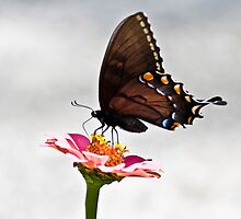 Pink zinnia and Swallowtail  by KSKphotography